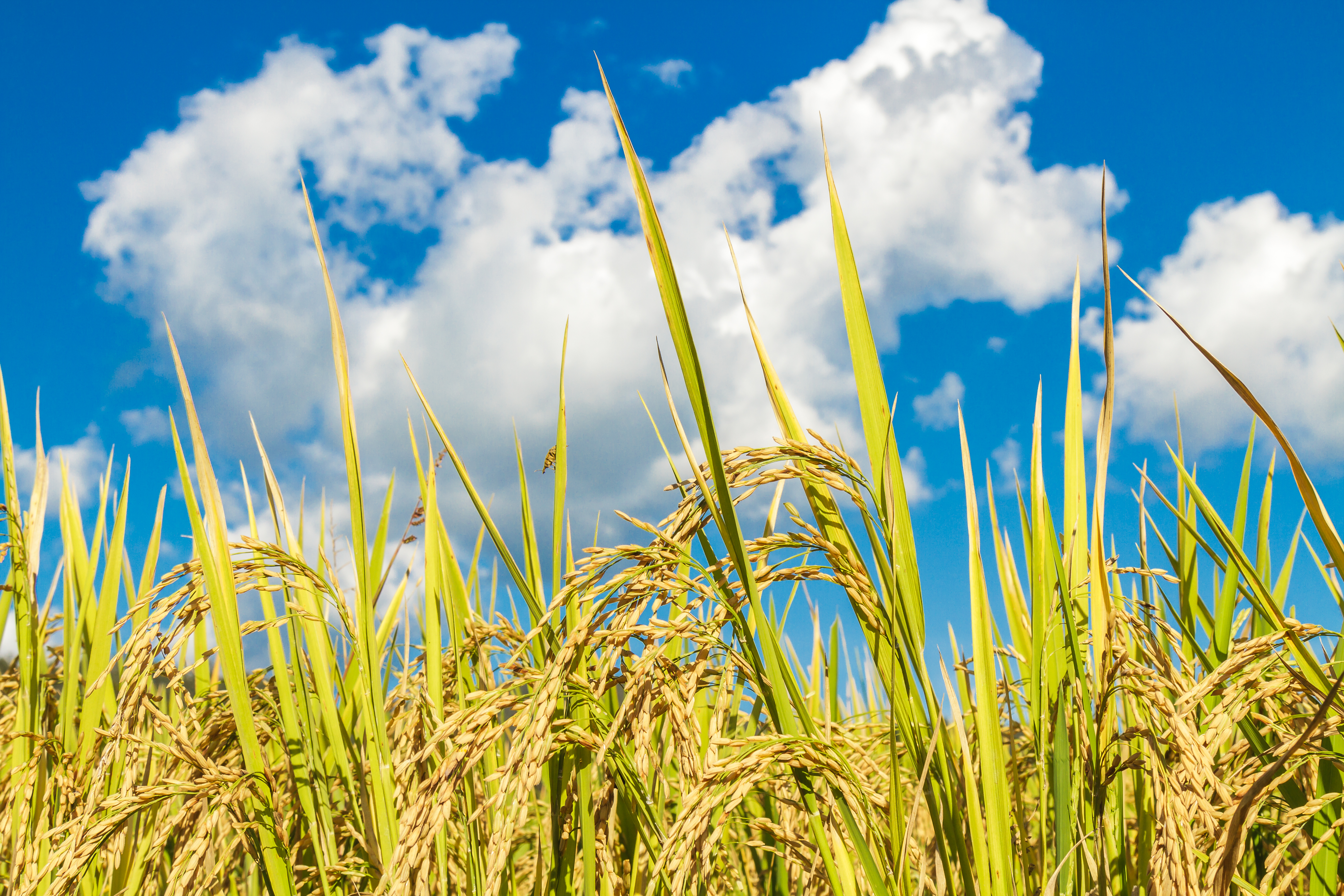 Paddy rice field landscape and blue sky and white cloud.